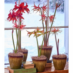 Amaryllis Collections