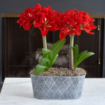 Double-Flowered Amaryllis