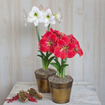New Amaryllis Varieties