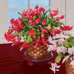 Holiday Cactus Red