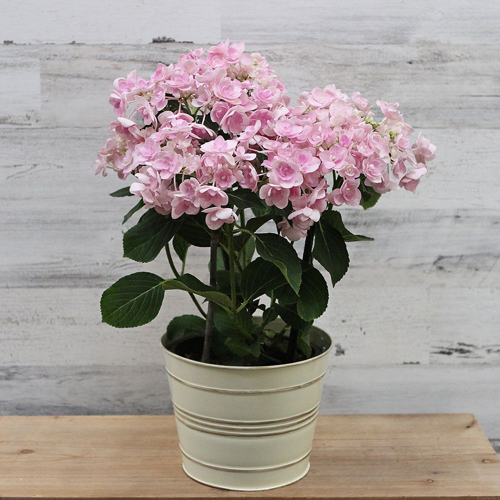 Hydrangea Angel's Parasol™ in metal cachepot
