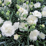 Dianthus Early Bird® Frosty
