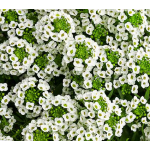 Lobularia White Knight®