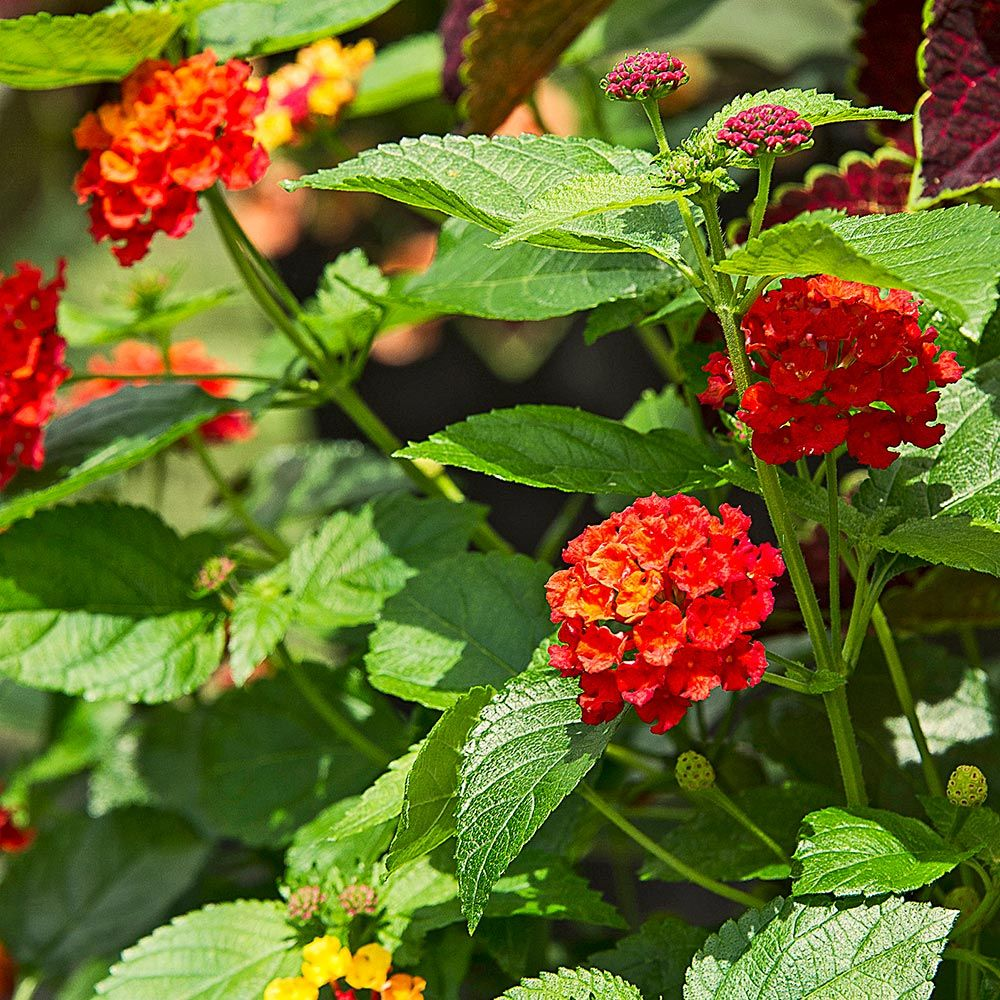 Lantana Bloomify™ Red