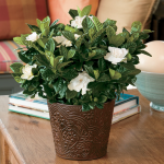 Gardenia Houseplants