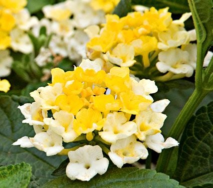 Lantana Lucky Lemon Glow White Flower Farm