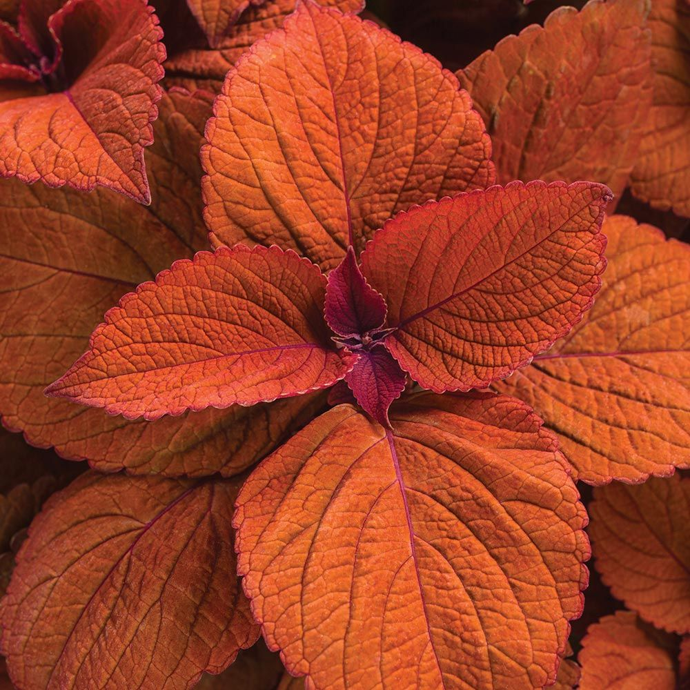 Coleus ColorBlaze® Sedona Sunset™