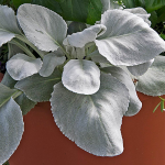 Senecio candicans Angel Wings®
