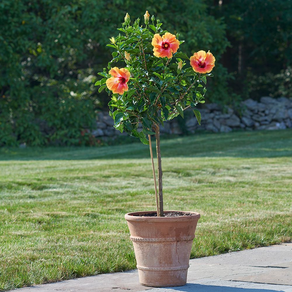 Tropical Hibiscus 'Fiesta' Topiary
