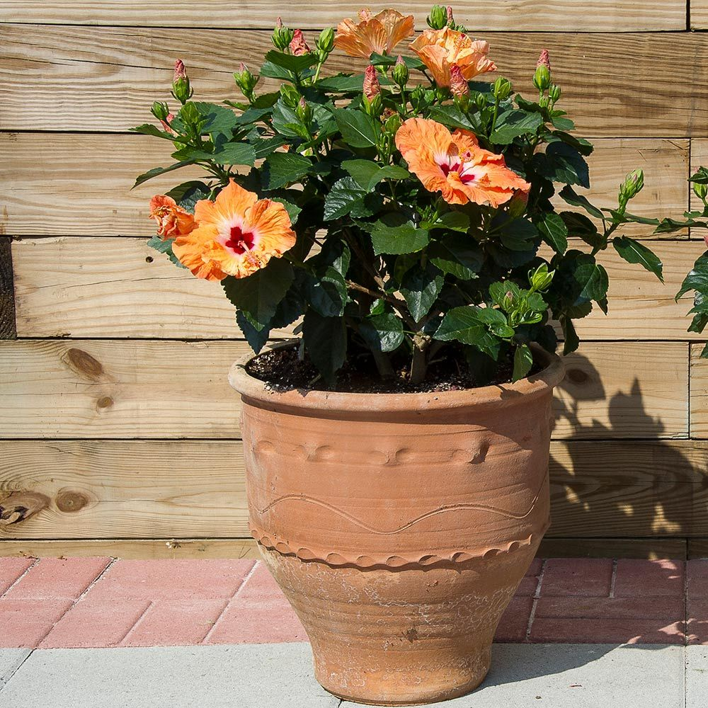 Tropical Hibiscus Tradewinds 'Mandarin Wind'