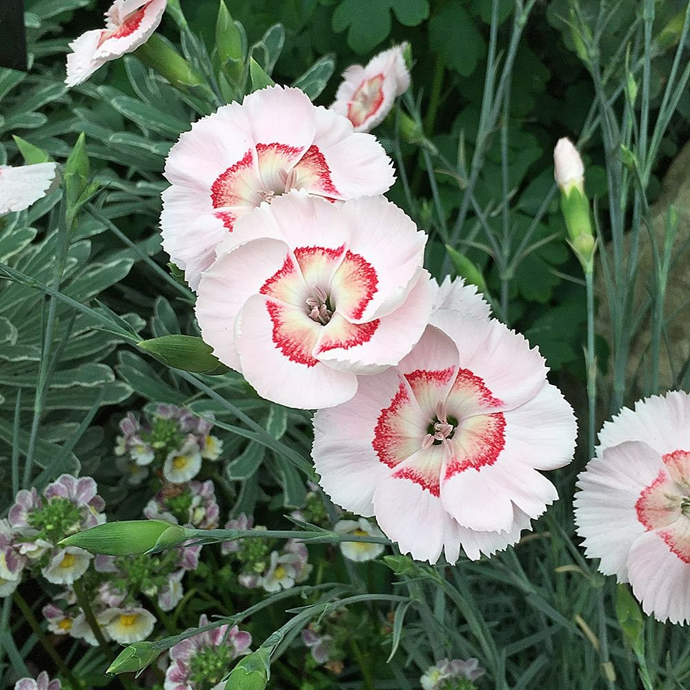 Dianthus American Pie™ 'Georgia Peach Pie'