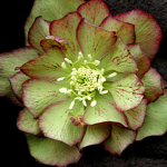 Helleborus x hybridus Winter Jewels® 'Jade Tiger'