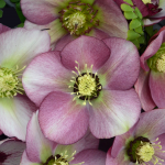 Helleborus Honeymoon® 'Paris in Pink'