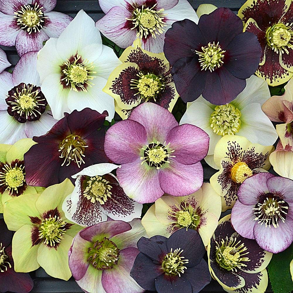Helleborus Honeymoon® Mix
