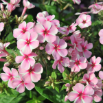 Phlox paniculata Early® Pink Candy