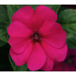 Impatiens Big Bounce™ Violet