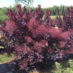 Cotinus coggygria Winecraft Black®