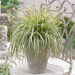 Ornamental Grass: Carex Feather Falls™