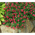 Impatiens Butterfly® Deep Pink