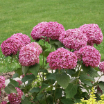 Hydrangea arborescens Invincibelle Mini Mauvette® - 1 gallon pot