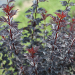 Physocarpus opulifolius Summer Wine® Black
