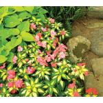 Impatiens Sunpatiens® Variegated Spreading Salmon