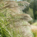 Ornamental Grass: Miscanthus sinensis 'Silver Feather'