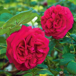 Rose Tess Of The d'Urbervilles®