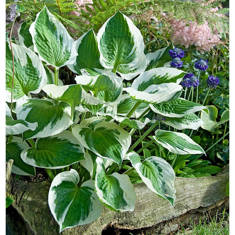 Hosta Patriot White Flower Farm