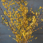 Forsythia Flowering Branches