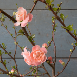 Double Quince Flowering Branches