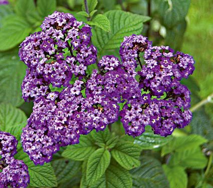 Heliotrope Fragrant Delight