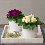 Primrose Duo in ceramic cachepots