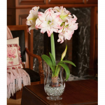 Amaryllis 'Aphrodite,' one bulb with hurricane vase kit