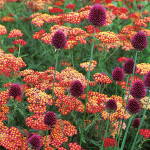 Achillea & Allium Collection - Red Highlights