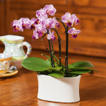 Purple-and-white Mini Moth Orchids in ceramic cachepot