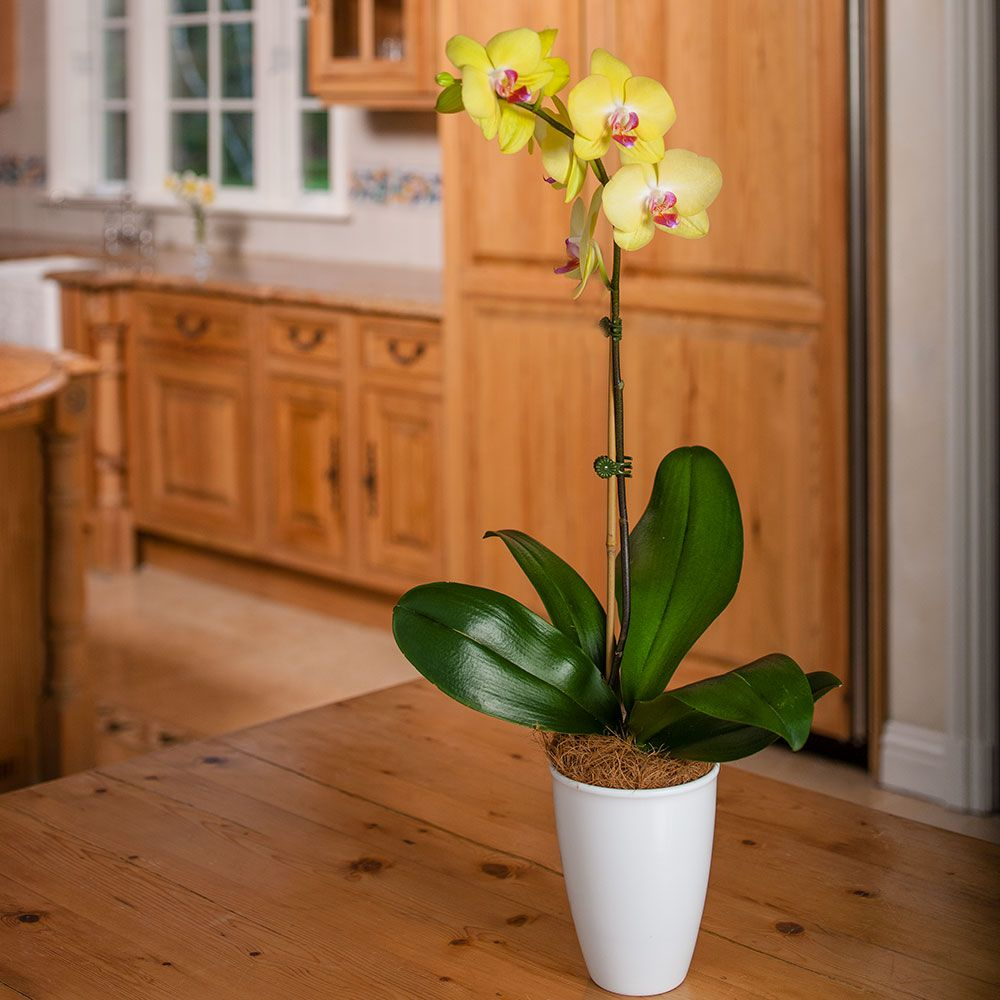 Yellow Moth Orchid in 5