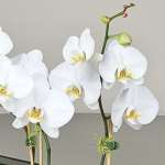 July - White Moth Orchid