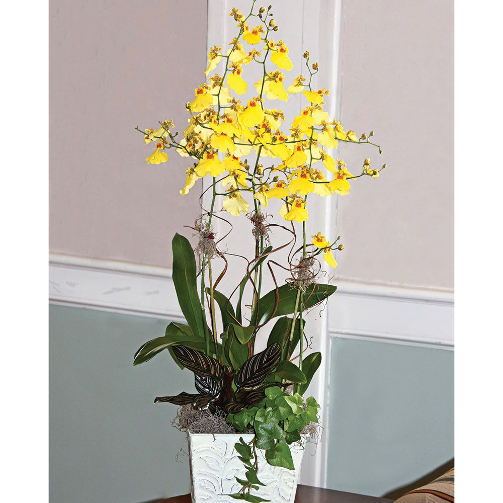 Exclusive Sweet Sugar Oncidium Orchid