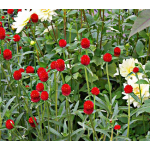 Gomphrena globosa 'Strawberry Fields'