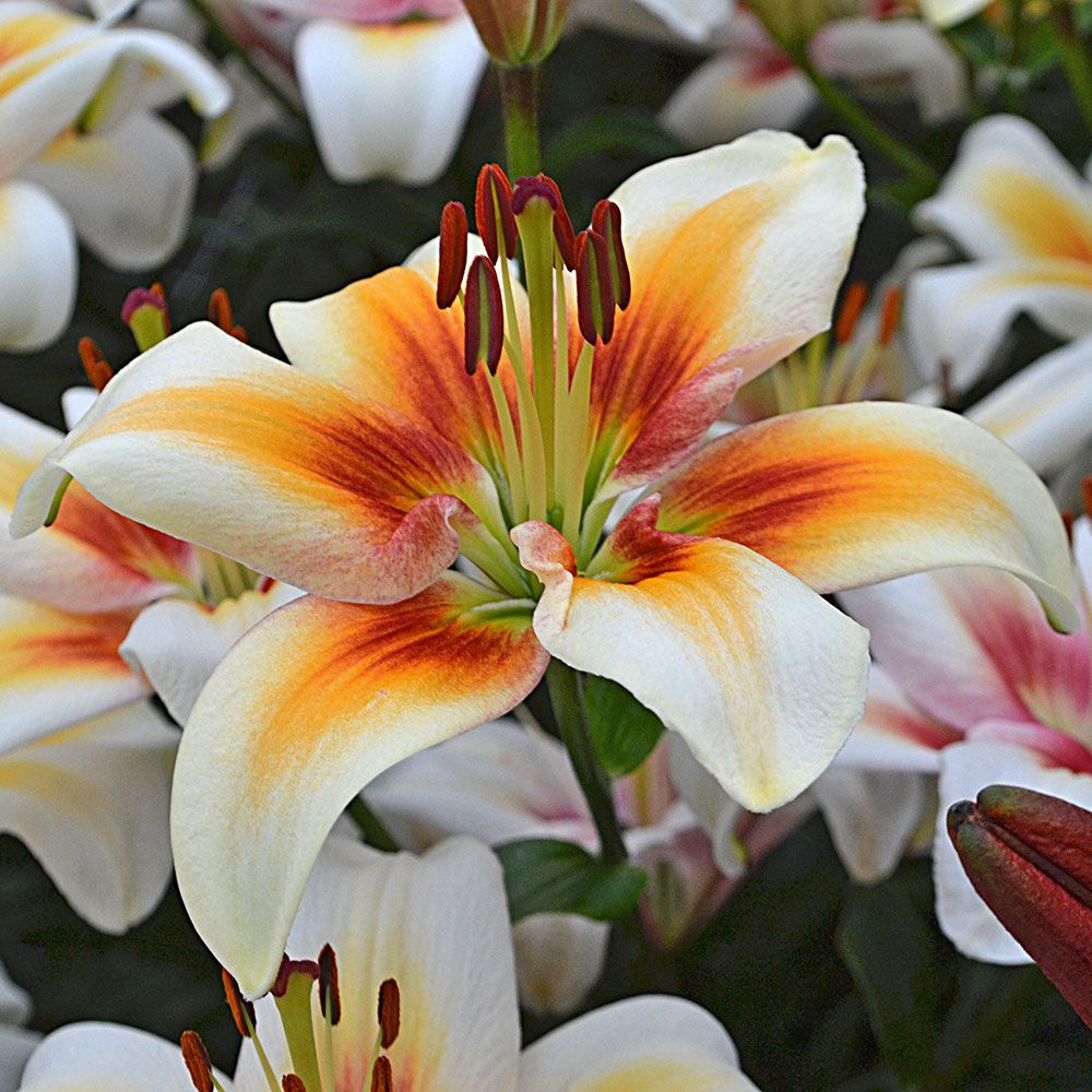 Types Of Lily Names: Lilies, Lily Flowers, Lily Bulbs, Lily Gardens & More