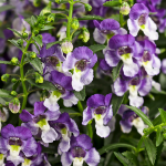 Angelonia angustifolia Angelface® Wedgwood Blue