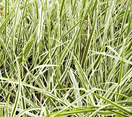 Pennisetum setaceum sky rocket white flower farm for Ornamental grass with yellow flowers