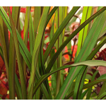 Ornamental Grass: Pennisetum  purpureum Princess