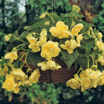 Begonia 'Yellow Sweetie' Blackmore & Langdon Trailing Variety