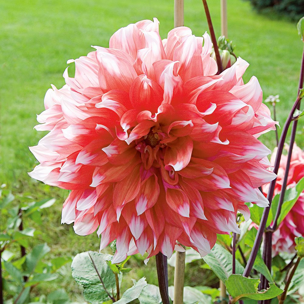 Dahlia tubers Free Delivery XXL DahliaDinner Plate XXL Mix 20 Summer Flowering Bulbs//Dinner Plate