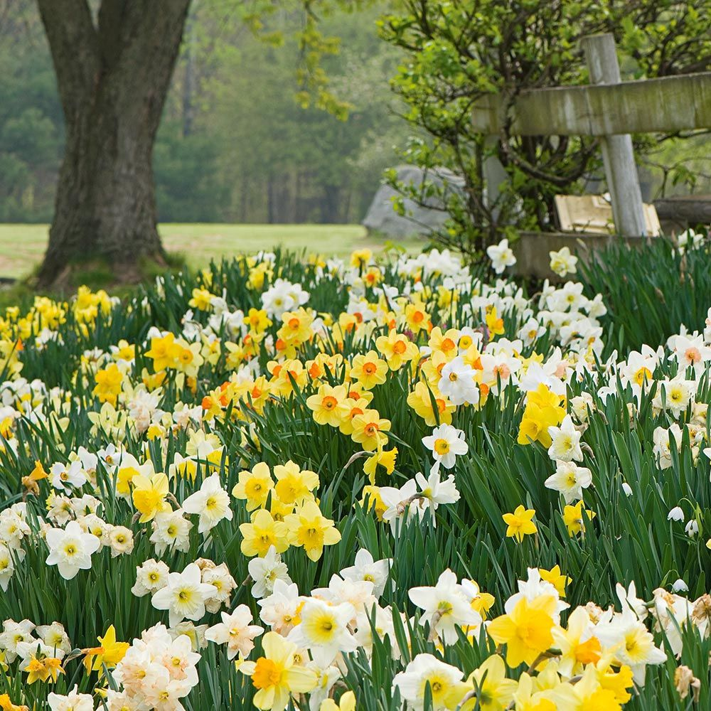 The Works Daffodil Mix