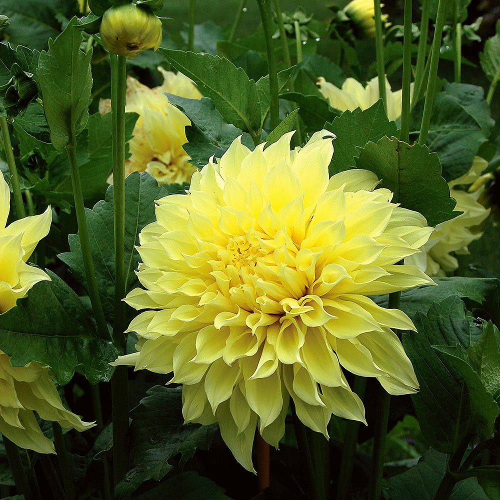 Dahlia Kelvin Floodlight White Flower Farm