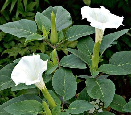 Image result for daTURA