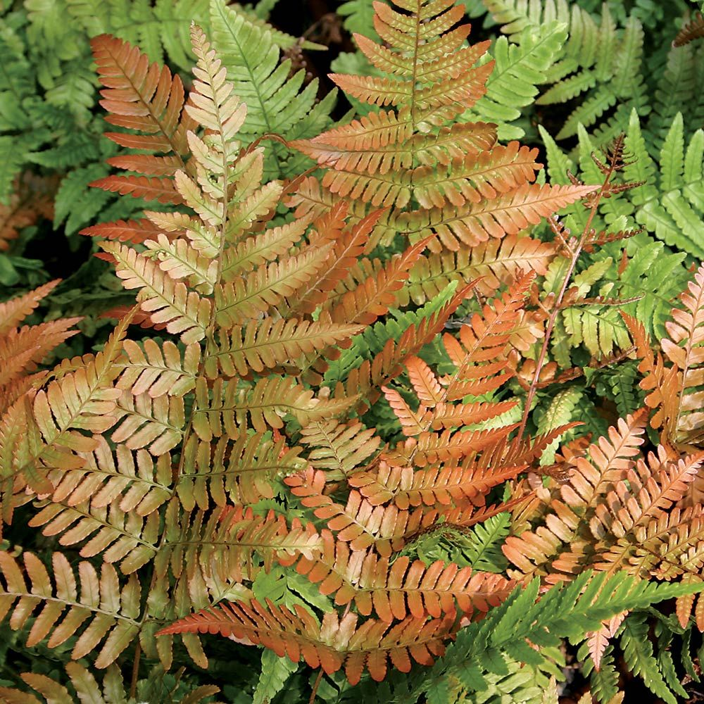 Dryopteris erythrosora Brilliance - Autumn Fern